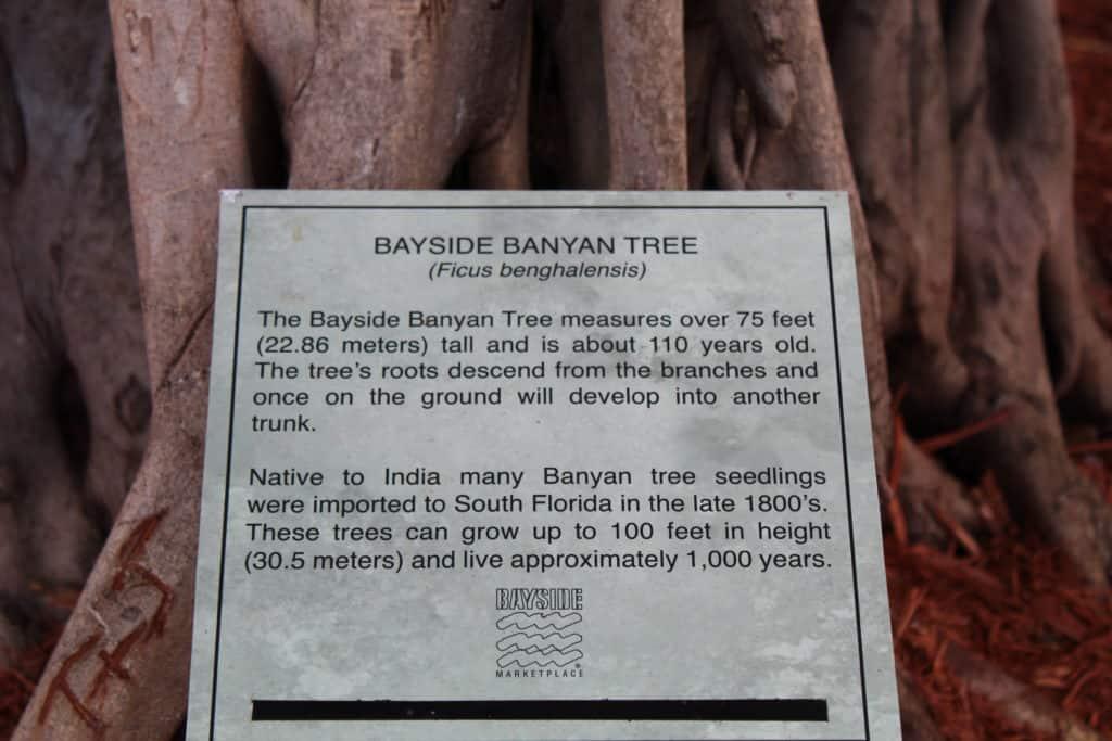 Bayside Marketplace Banyan Tree