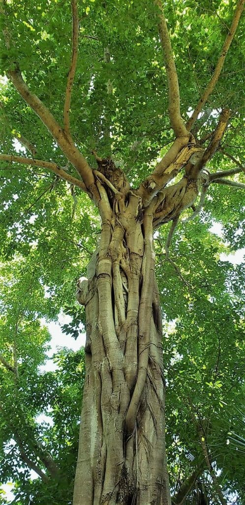 Dragon Tree McKee Botanical Garden